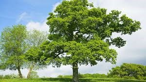Some Things That You May Not Know About Oak Trees